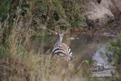 Observad en el agua como el cocodrilo casi completamente sumergido tiene agarrado a la cebra
