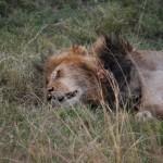 Los leones son los felinos más fáciles de ver en Masai Mara