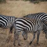 Como organizar un safari en Kenia (I)