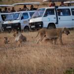 No en pocas ocasiones el número de furgonetas supera al de animales.