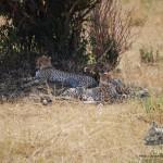 """Una """"tranquila"""" familia de guepardos"""