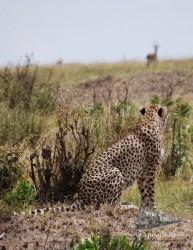 Para que un depredador se decida a correr, la presa debe estar bastante cerca.