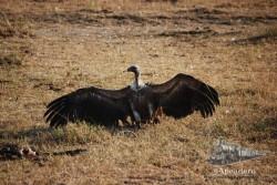 Para tratar de intimidar a sus contrarios, los buitres desplegan sus alas para parecer más grandes.