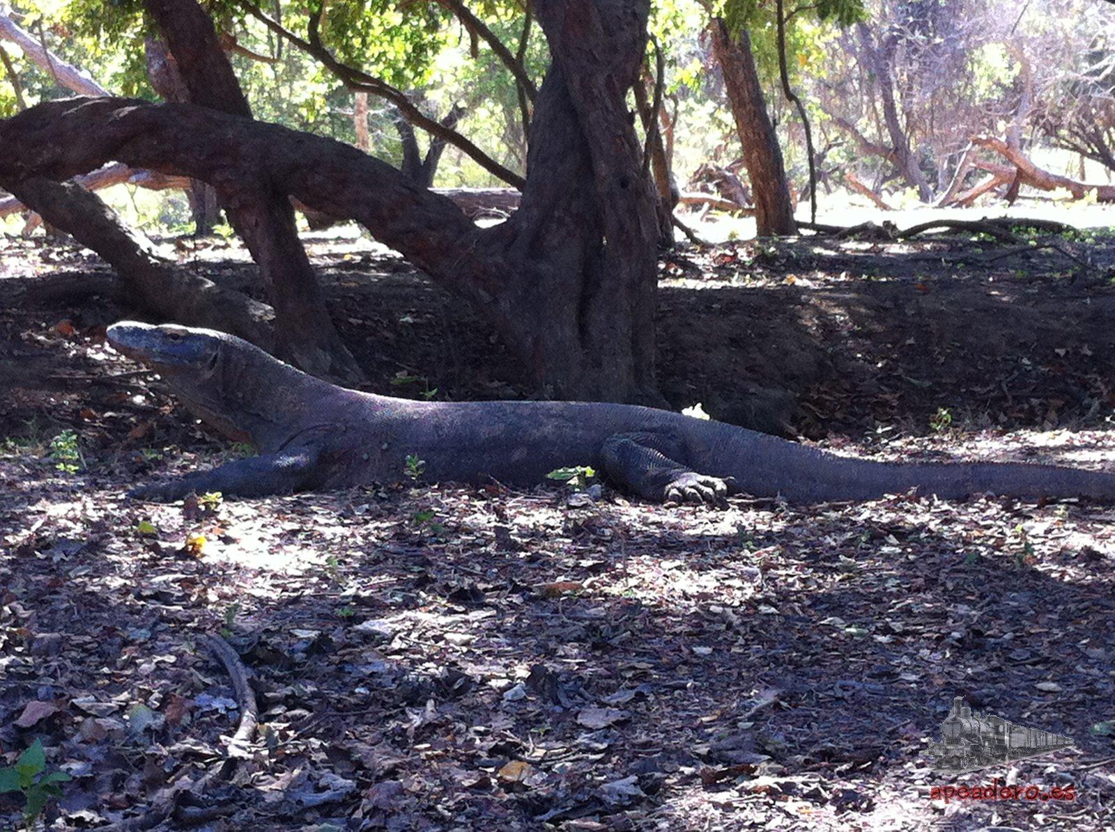 Llegar a Labuan Bajo para ver al dragón de Komodo es el único incentivo que tiene un viaje así.