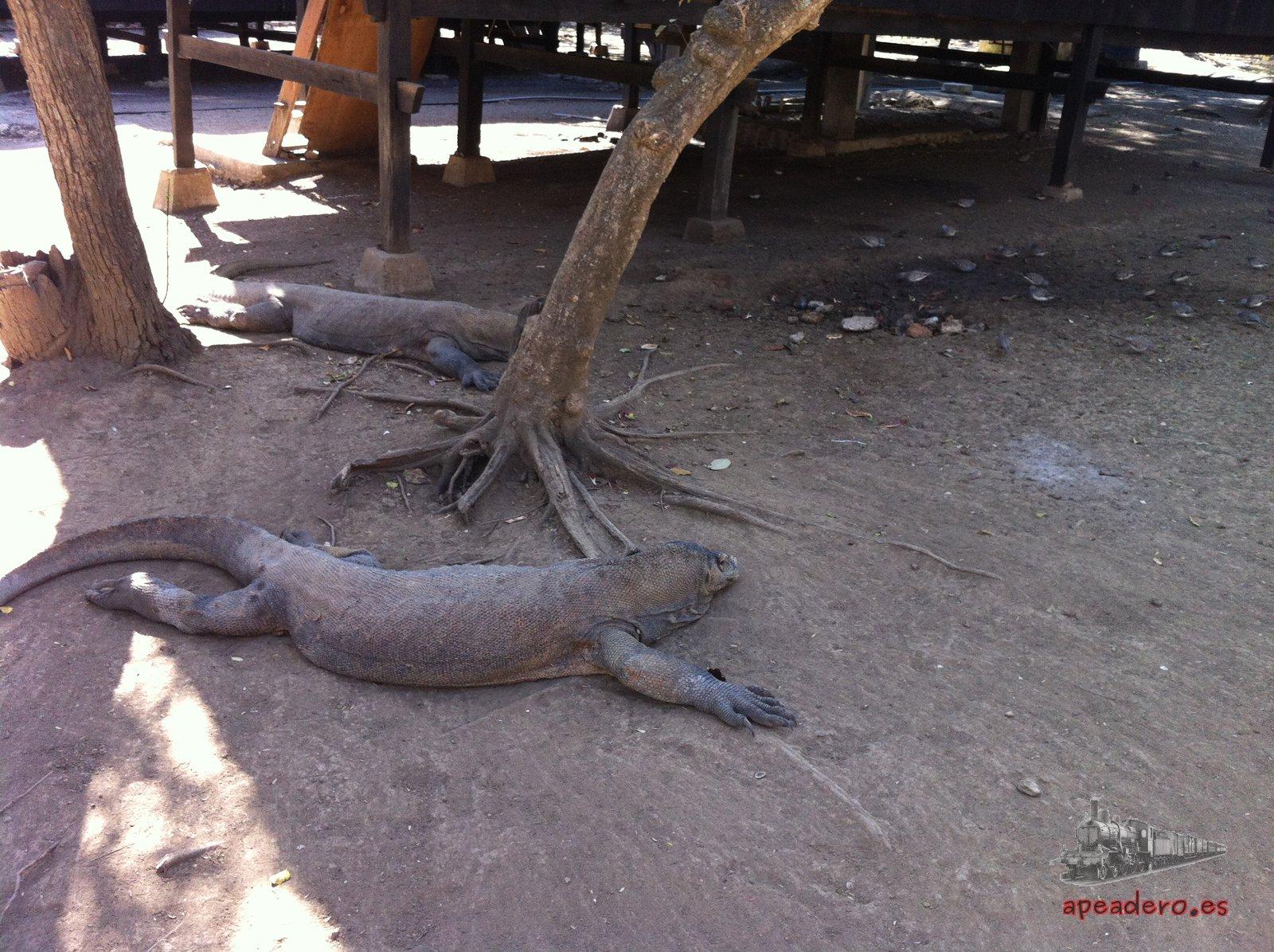 Los dragones de Komodo domesticados que tienen en la isla de Rinca