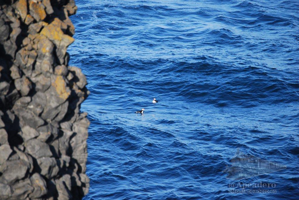 Hasta aterrizar en el agua dónde se quedaron nadando. No fueron los únicos frailecillos que vimos, había una decena en el mar, pero estos eran los que tuvimos más cerca.