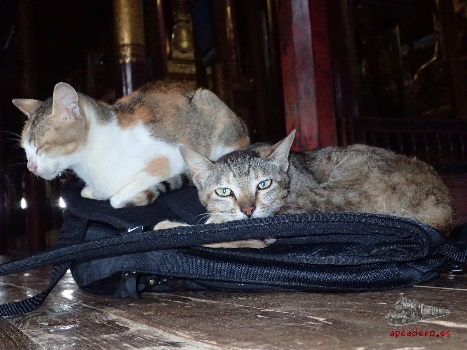 Gatos en el templo del lago Inle