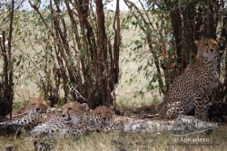 A los guepardos están siempre bien camuflados bajo un árbol.