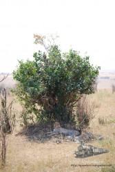 Este tipo de árbol-arbusto es el preferido por los guepardos.