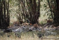 Los guepardos solo se alertan cuando huelen a la presa.