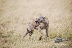 Una hiena que se lleva su botín.