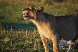 El león es el felino más fácil de ver y a la vez uno de los más atractivos.
