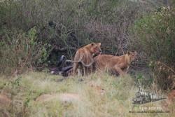 Estas leonas acaban de visitar la despensa. Lo rojo de la cara es sangre ajena.