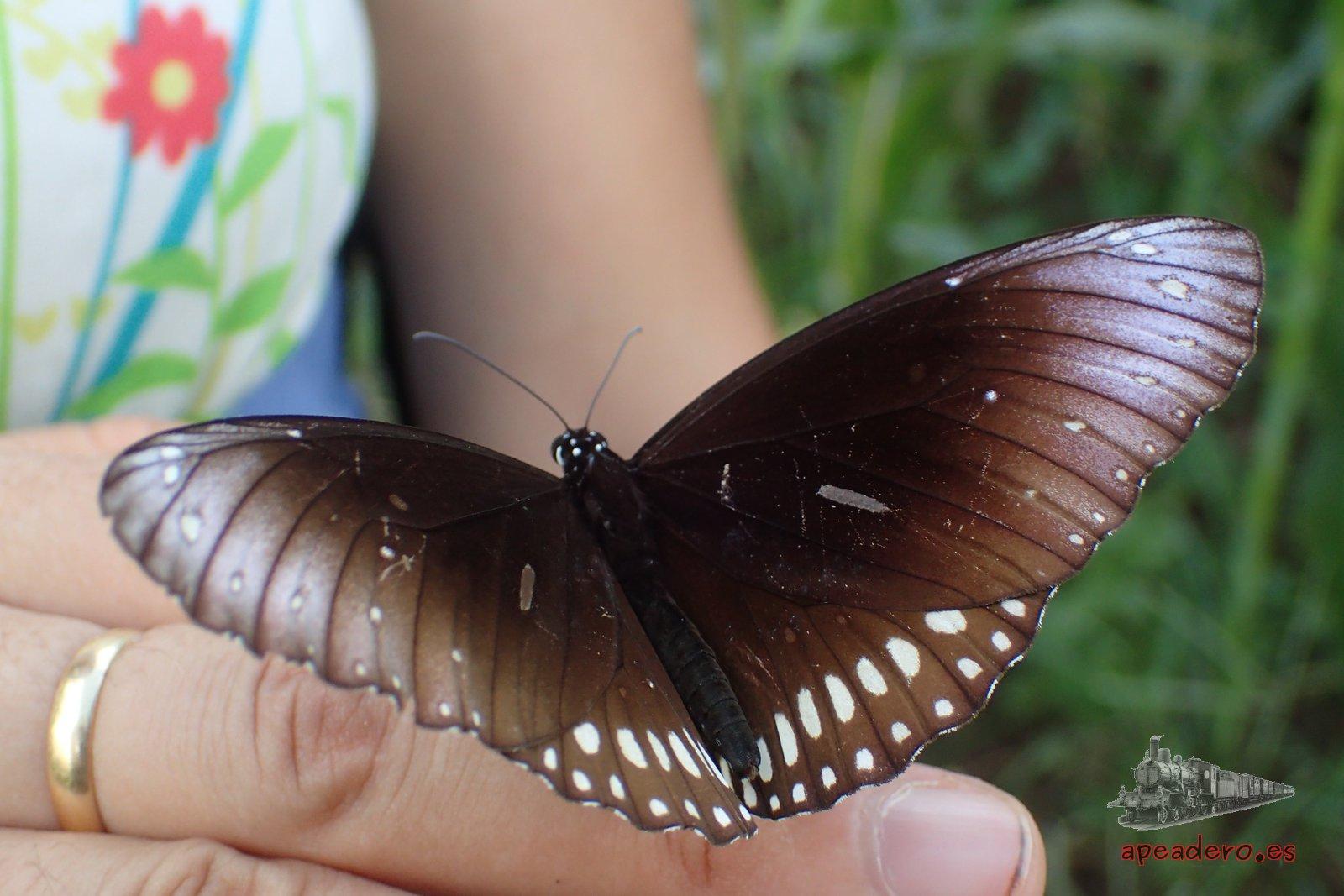 Mariposa en Birmania
