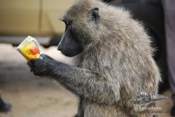 Algunos monos se informan de los nutrientes antes de tomarse el zumo.