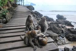 No exagero si digo que habrían cientos de monos en Ao Nang.