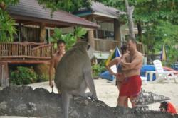 En Phi Phi también hay monos en las playas.