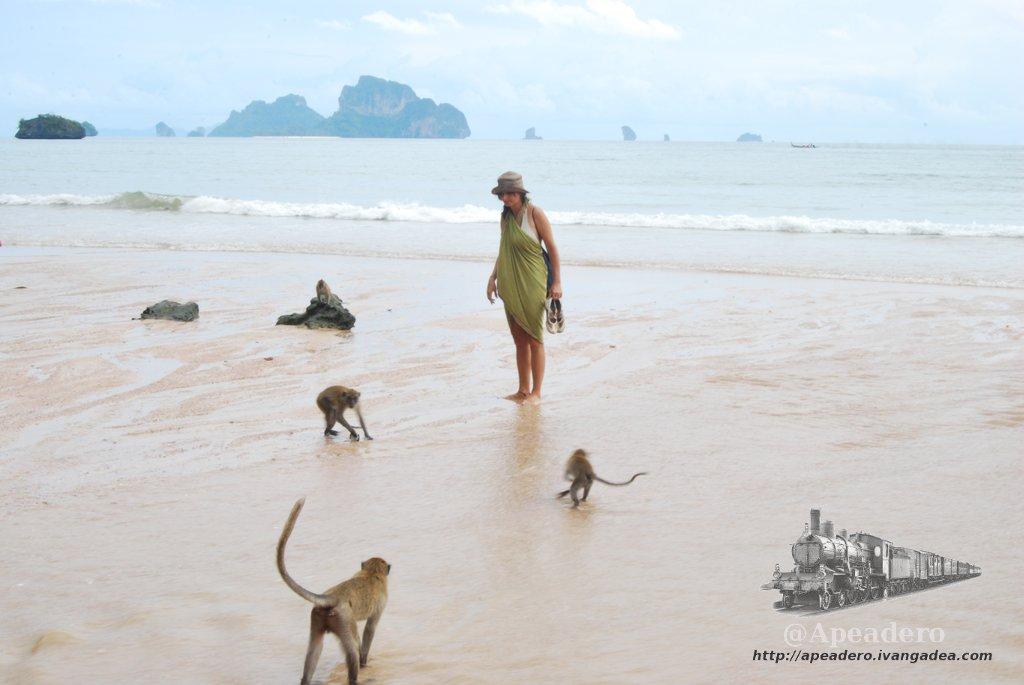 Al atardecer, los monos bajan a la playa porque los propietarios de los restaurantes les echan las sobras.