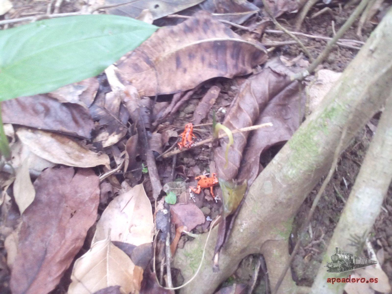 Las ranas rojas características de esta zona se deben buscar entre el barro justo antes de llegar a la playa Red Frog desde Wizard