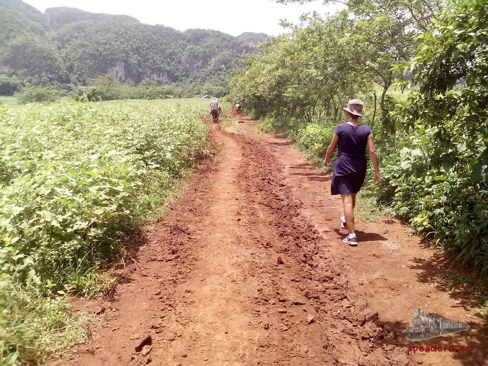 Caminar por el valle de Viñales es, en general, fácil y no presenta más complicaciones que esquivar el barro que se haya podido acumular en el camino. No hay grandes pendientes a no ser que se te ocurra subirte a un mogote...
