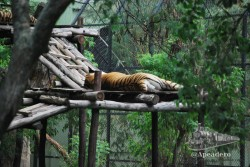 A pesar de los diversos safaris que hicimos, el único tigre que pudimos ver fue en el zoo.