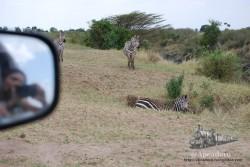 Nuria fotografiando cebras.