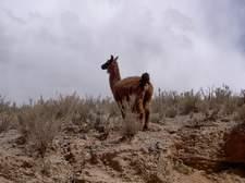 Los guanacos son muy comunes en esta tierras